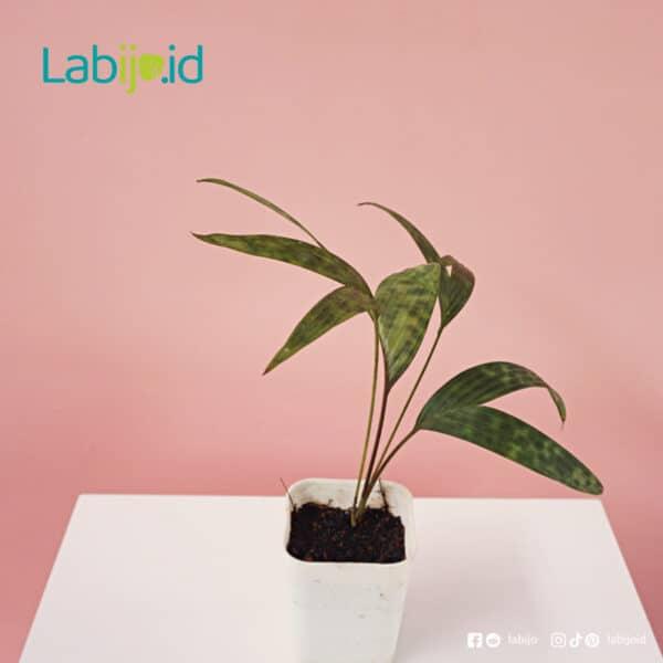 Palm Licuala Mapu grow