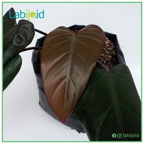 Philodendron Dark Lord for sale