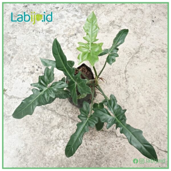 Philodendron Golden Dragon for sale