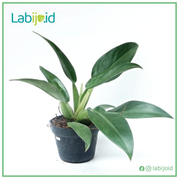 Philodendron Martianum for sale