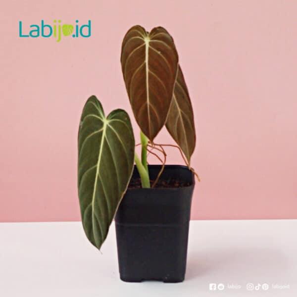 buy Philodendron Melanochrysum