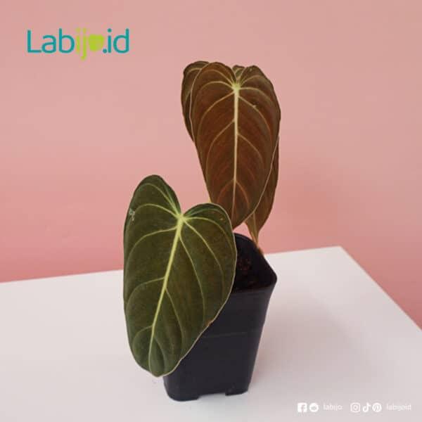Philodendron Melanochrysum healthy
