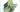 Syngonium Mojito mottled leaves