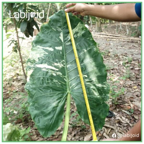 Alocasia Gageana Macrorrhiza Variegated King Large for sale