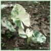 Alocasia Gageana Macrorrhiza Variegated medium for sale