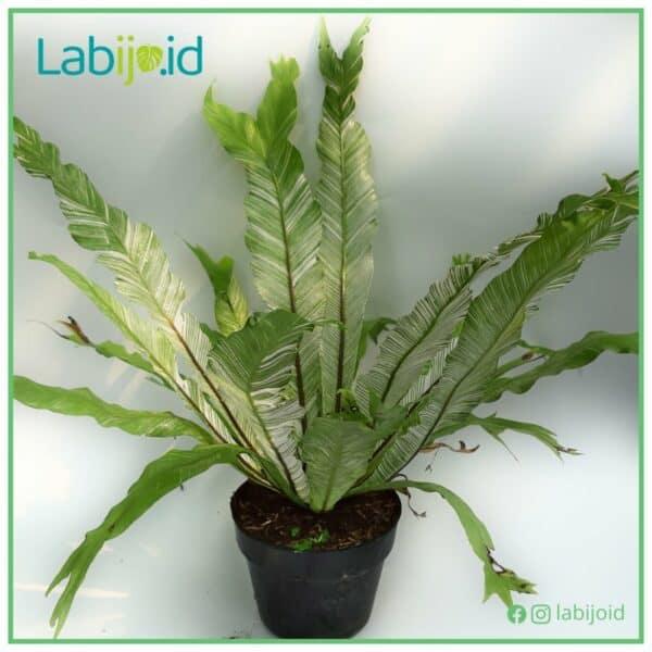 buy asplenium variegata