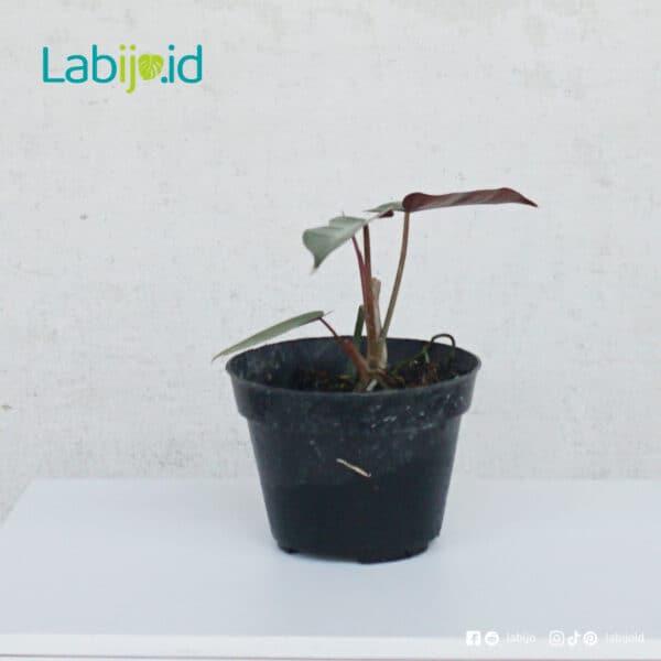 philodendron Atabapoense grow