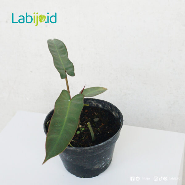 philodendron Atabapoense care tips