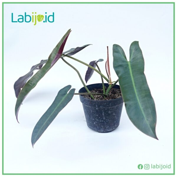 philodendron atabapoense for sale