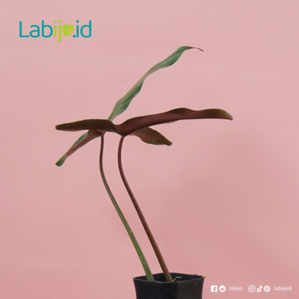 philodendron Mexicanum from indonesia