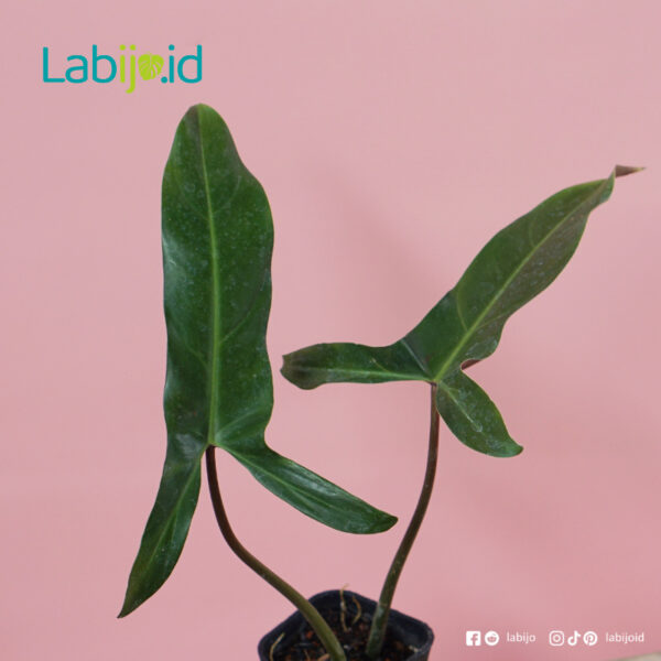philodendron Mexicanum for sale