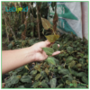 Philodendron Scadens Micans grow healthy