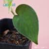 scindapsus jade satin texture close up