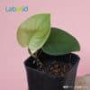 scindapsus jade satin from Indonesia
