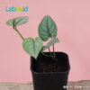 scindapsus lucens growing healthy