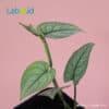 scindapsus lucens for urban jungle