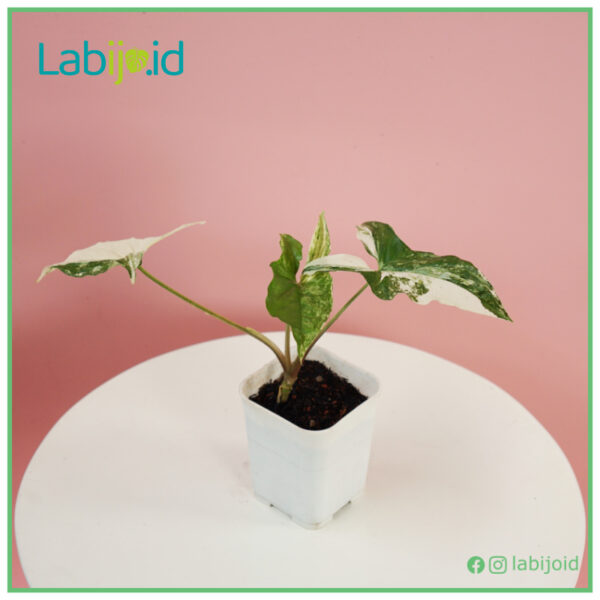 Syngonium Albo for sale