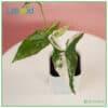 Syngonium Albo from Indonesia