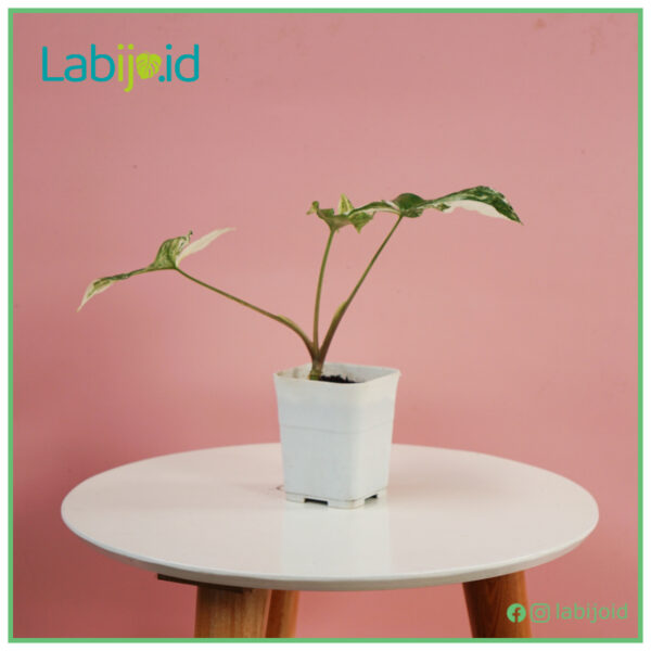 Syngonium Albo for urban jungle