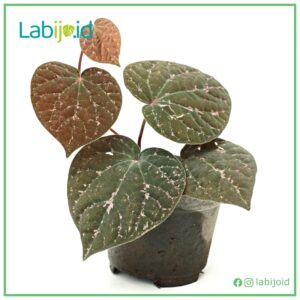 Labijo Experienced Rare Tropical House Plants Supplier