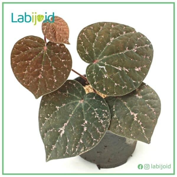 Piper Porphyrophyllum texture leaves soft