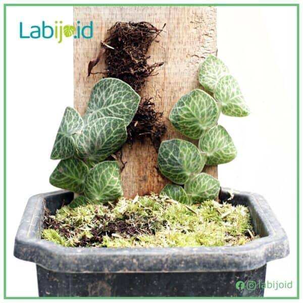 Rhaphidophora Cryptantha for sale