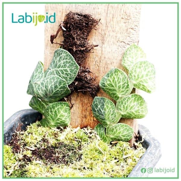 Rhaphidophora Cryptantha on the wood