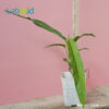 Rhaphidophora Angustata houseplant