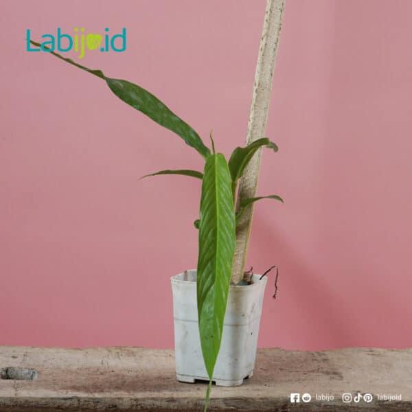 Rhaphidophora Angustata with pole