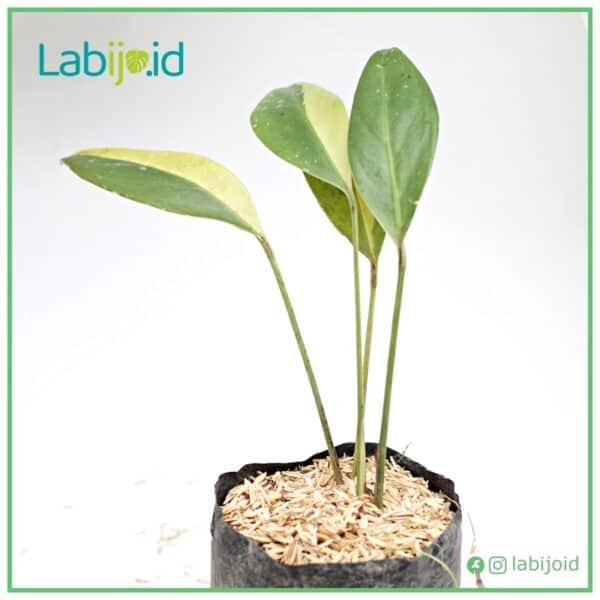 epipremnum amplissimum variegated for sale