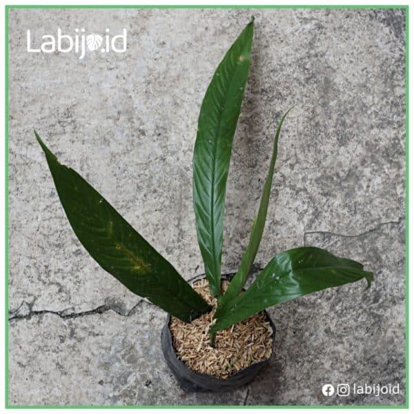 Rhaphidophora Angustata for sale