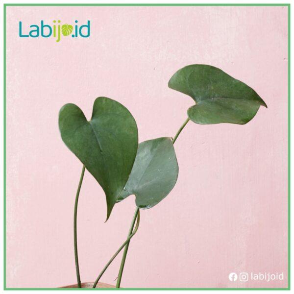 amydrium humile glossy leaf healthy