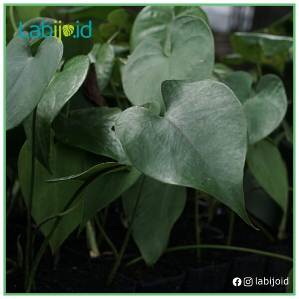 amydrium humile from Indonesia garden