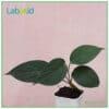 Homalomena Humilis Green for sale