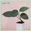 Homalomena Humilis Green texture leaves