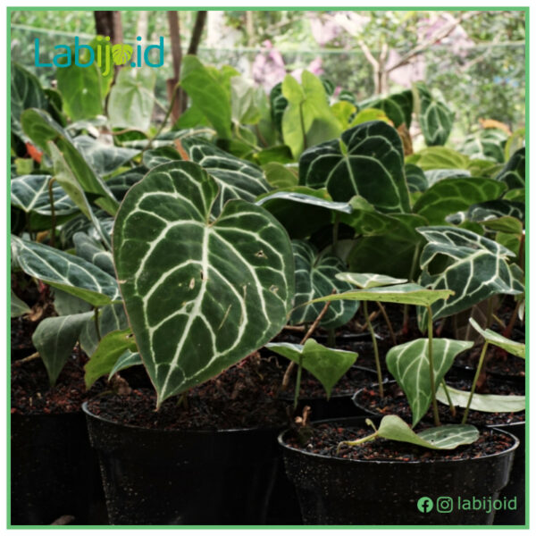 Wholesale Anthurium Crystallinum, Sort of Rejected Plants (Broken Leaf or Small) from Indonesia