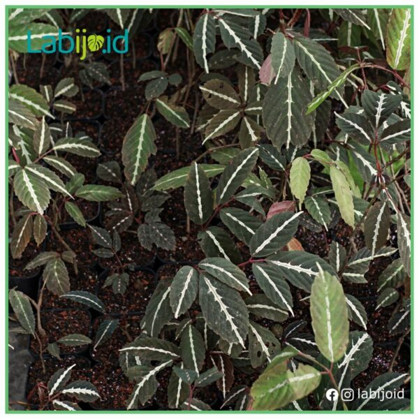 wholesale leea amabilis healthy grow