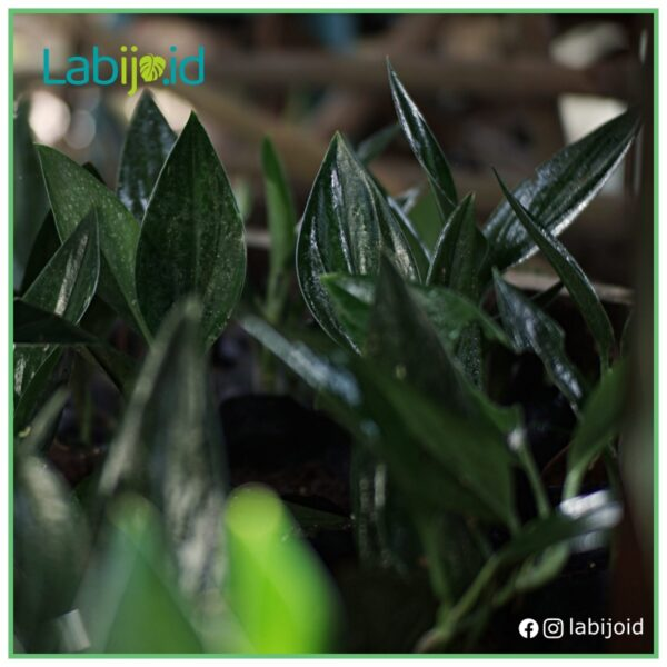 wholesale scindapsus treubii dark form stock at garden