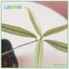 Labisia Narrow Leaves texture close up
