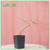 Labisia Narrow Leaves from Borneo