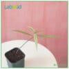 Labisia Narrow Leaves for sale