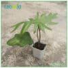 Philodendron Mayoi houseplants