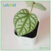 Piper Sylvaticum texture leaf