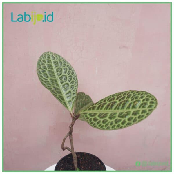 Labisia Turtle texture leaf
