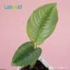 Schismatoglottis Calyptrata for sale