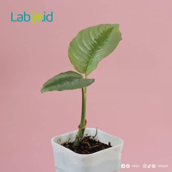 houseplant Schismatoglottis Calyptrata
