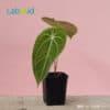 Anthurium Magnificum medium size for sale
