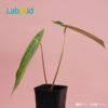 Anthurium Magnificum from the side
