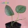 Scindapsus moonlight for sale