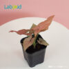 syngonium pink neon from Indonesia